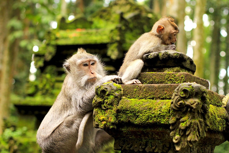 Monkey Forest Bali A1 Driver Ubud Tour Combination 1 - Bali Driver Tour Sightseeing